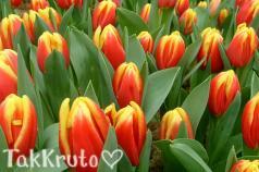 Тюльпан, отдушка Франция