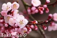 Цветущая сакура, отдушка Франция