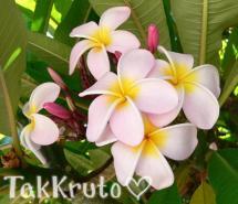 Балийский цветок, отдушка Россия
